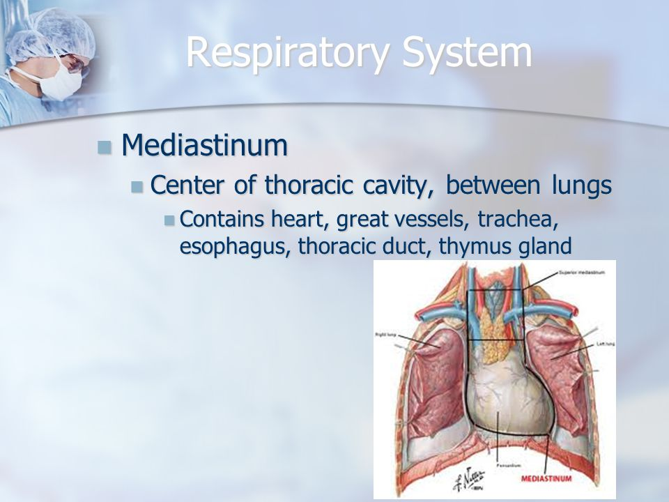 Respiratory System Mediastinum Mediastinum Center of thoracic cavity, between lungs Center of thoracic cavity, between lungs Contains heart, great vessels, trachea, esophagus, thoracic duct, thymus gland Contains heart, great vessels, trachea, esophagus, thoracic duct, thymus gland