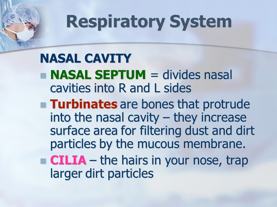 Respiratory System NASAL CAVITY NASAL SEPTUM = divides nasal cavities into R and L sides NASAL SEPTUM = divides nasal cavities into R and L sides Turbinates are bones that protrude into the nasal cavity – they increase surface area for filtering dust and dirt particles by the mucous membrane.