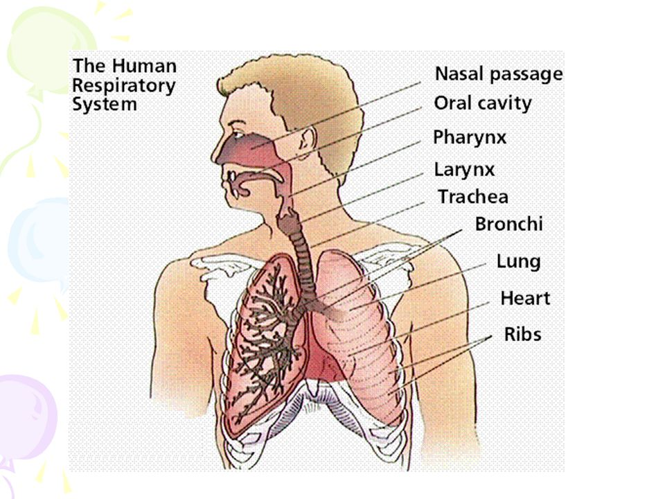 Respiratory System Anatomy and Physiology Chapter ppt download