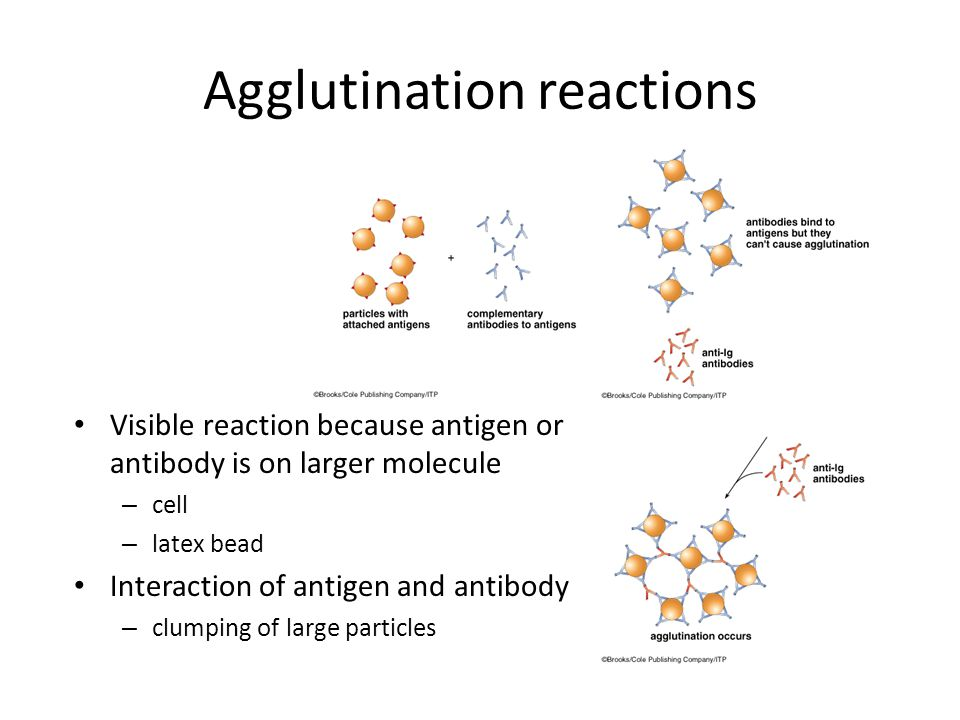 Agglutination reactions Visible reaction because antigen or antibody is on larger molecule – cell – latex bead Interaction of antigen and antibody – clumping of large particles Similar to precipitation reaction