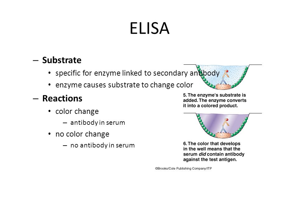 © 2004 Wadsworth – Thomson Learning ELISA – Substrate specific for enzyme linked to secondary antibody enzyme causes substrate to change color – Reactions color change – antibody in serum no color change – no antibody in serum