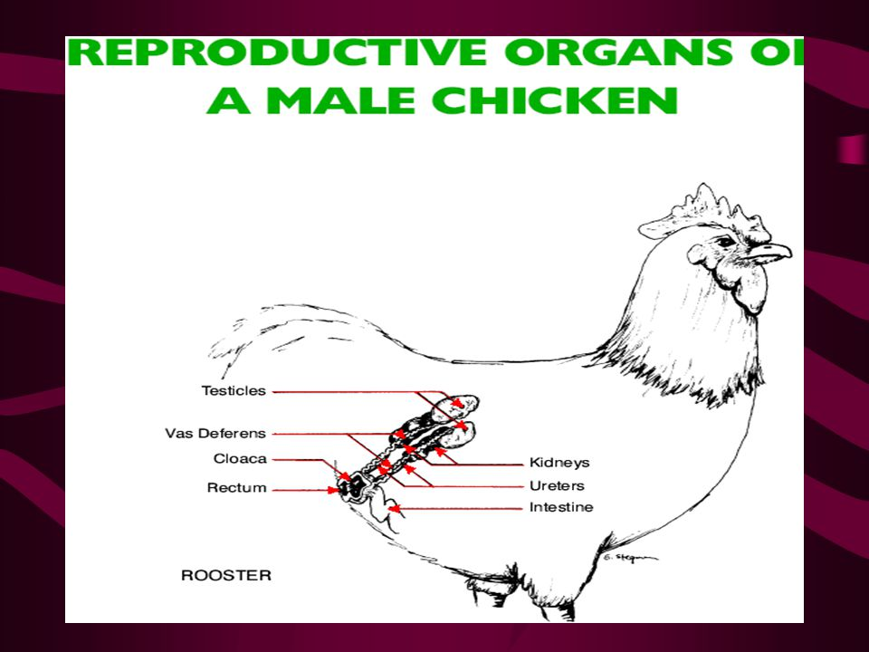 Anatomy And Physiology Of Animal Reproductive Systems Ppt Video