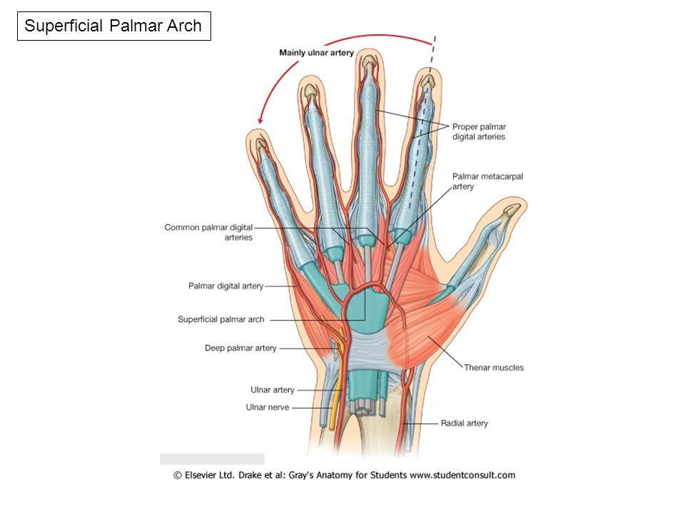 HAND. Deep Fascia -Flexor retinaculum -Palmar aponeurosis -Palmaris ...