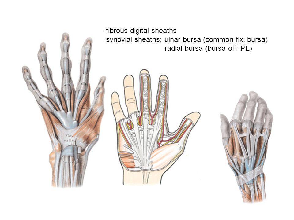 hand deep fascia flexor retinaculum palmar aponeurosis palmaris