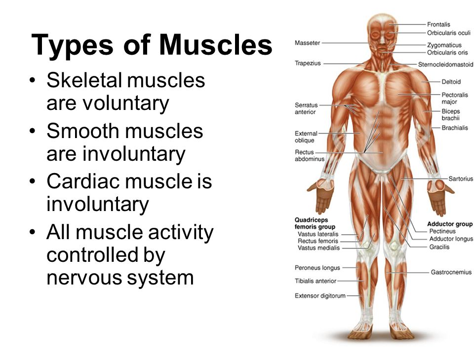 the muscular system consists of the