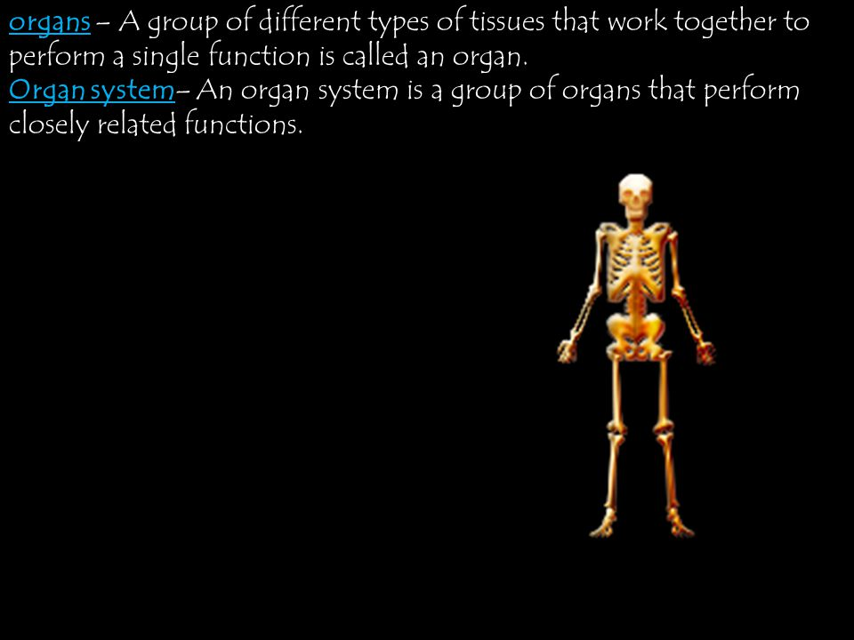 organs – A group of different types of tissues that work together to perform a single function is called an organ.