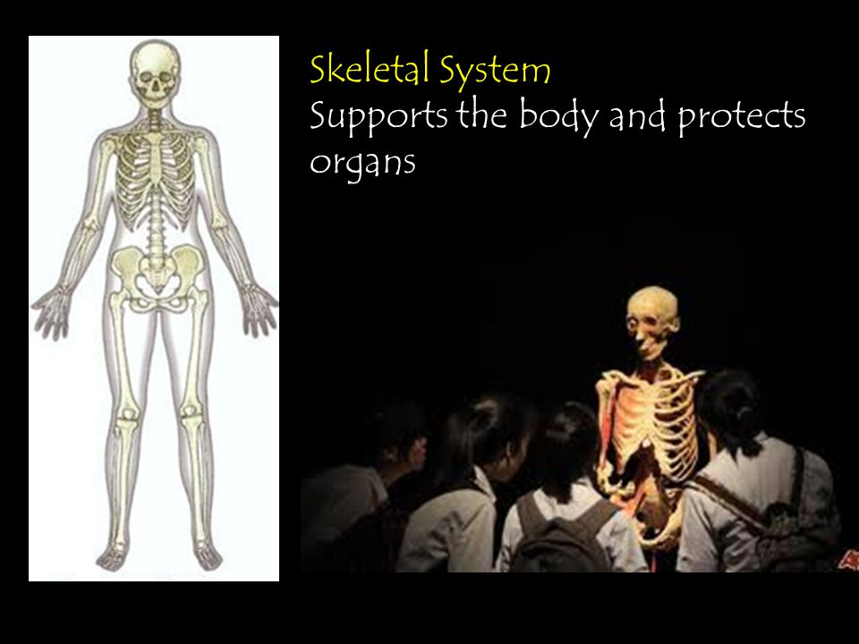 Skeletal System Supports the body and protects organs