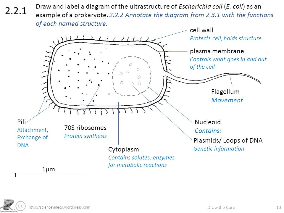 draw the core label if you\u0027re able annotate if you\u0027re great stephendraw the core draw and label a diagram of the ultrastructure of escherichia coli (e