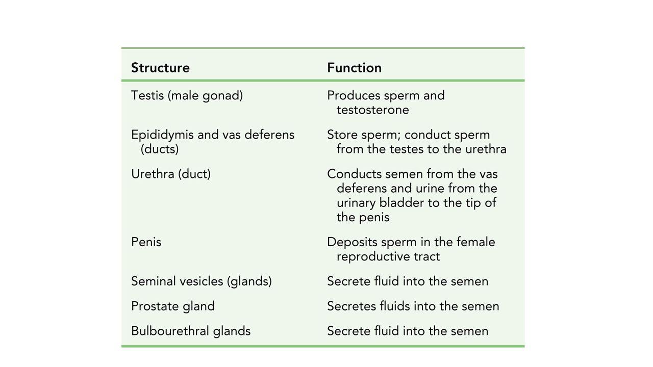 Human Reproduction Pubic Bone Urinary Bladder Ureter Rectum Seminal