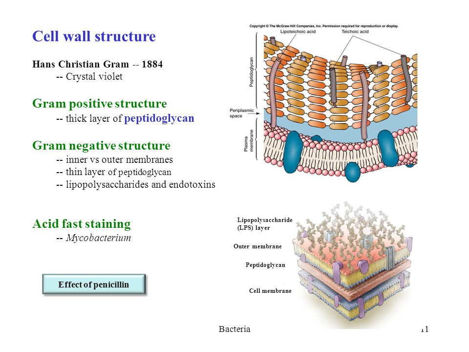 Bacteria11 Cell wall structure Hans Christian Gram Crystal violet Gram positive structure -- thick layer of peptidoglycan Gram negative structure -- inner vs outer membranes -- thin layer of peptidoglycan -- lipopolysaccharides and endotoxins Acid fast staining -- Mycobacterium Lipopolysaccharide (LPS) layer Outer membrane Peptidoglycan Cell membrane Effect of penicillin