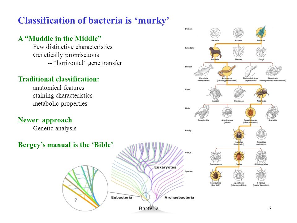 Bacteria3 Classification of bacteria is 'murky' A Muddle in the Middle Few distinctive characteristics Genetically promiscuous -- horizontal gene transfer Traditional classification: anatomical features staining characteristics metabolic properties Newer approach Genetic analysis Bergey's manual is the 'Bible'