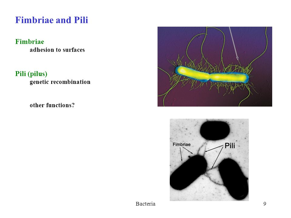 Bacteria9 Fimbriae and Pili Fimbriae adhesion to surfaces Pili (pilus) genetic recombination other functions