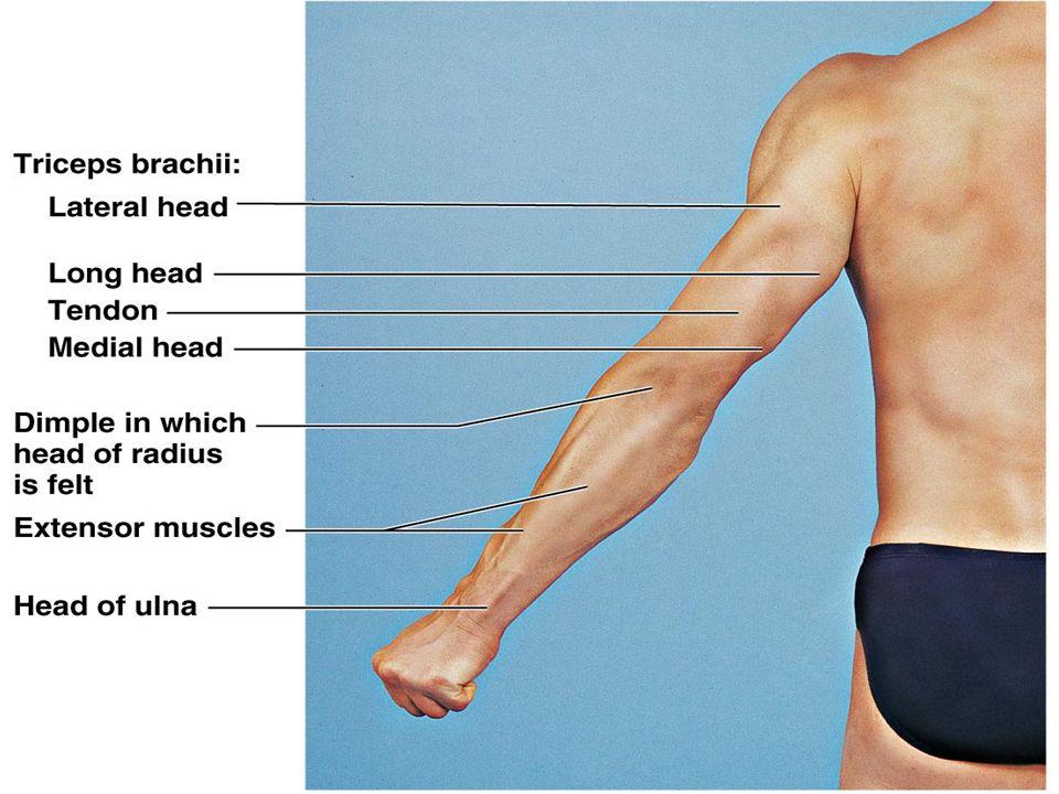 Posterior Elbow Anatomy Image Collections Human Body Anatomy