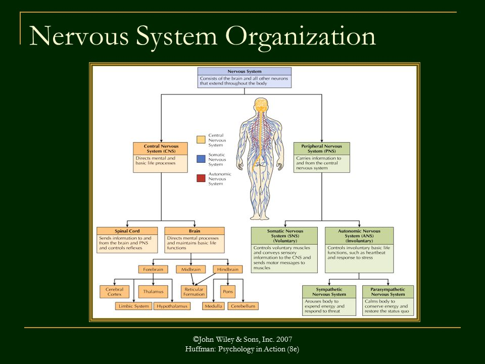 ©John Wiley & Sons, Inc Huffman: Psychology in Action (8e) Nervous System Organization