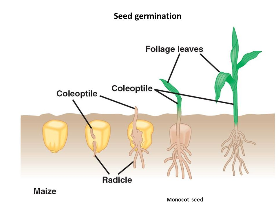 Seed Germination Diagram Monocot Germination Wiring