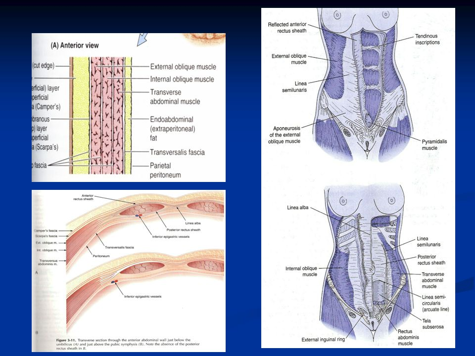 Female Embryology, Anatomy and Histology - ppt video online download