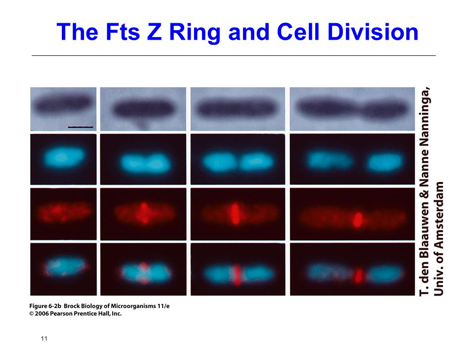 11 The Fts Z Ring and Cell Division