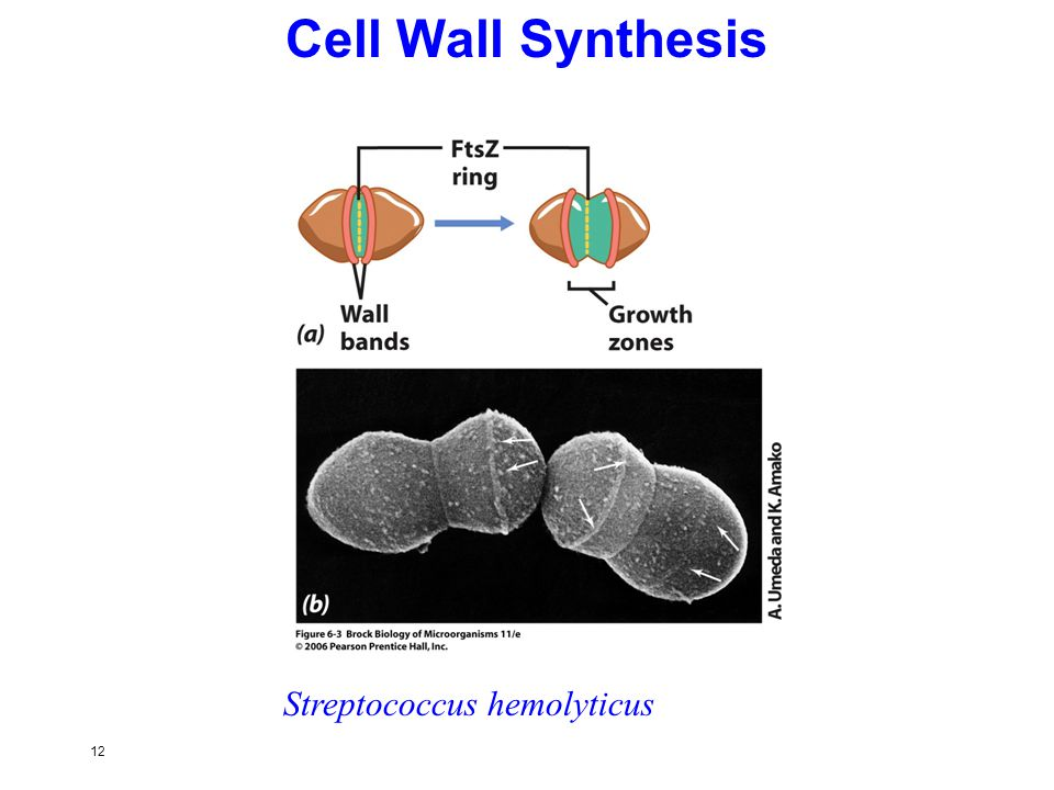 12 Cell Wall Synthesis Streptococcus hemolyticus