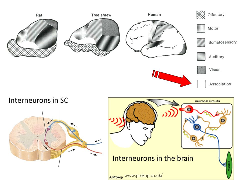 1if your sciatic nerve is damaged where do you feel pain 2if 4 interneurons ccuart Images