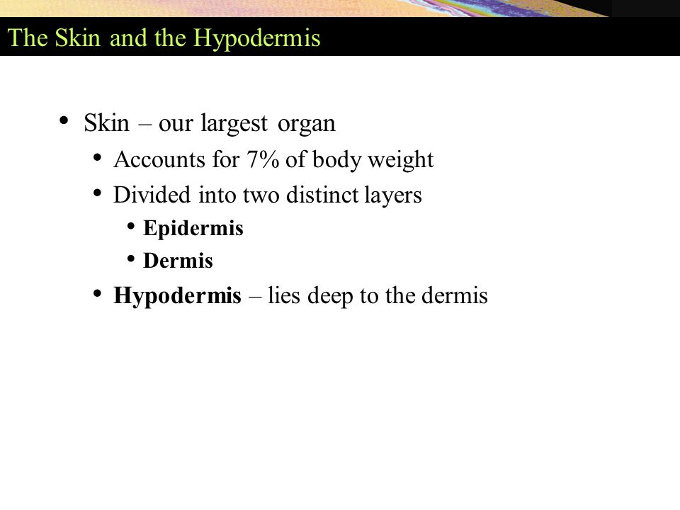 The Skin and the Hypodermis Skin – our largest organ Accounts for 7% of body weight Divided into two distinct layers Epidermis Dermis Hypodermis – lies deep to the dermis