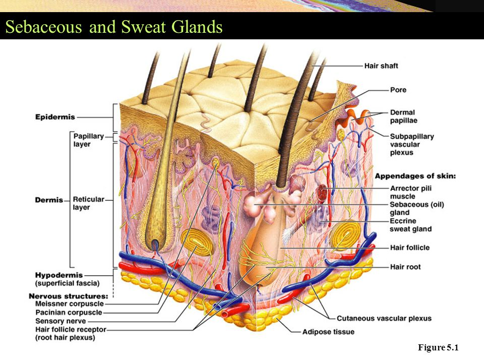 Sebaceous and Sweat Glands Figure 5.1