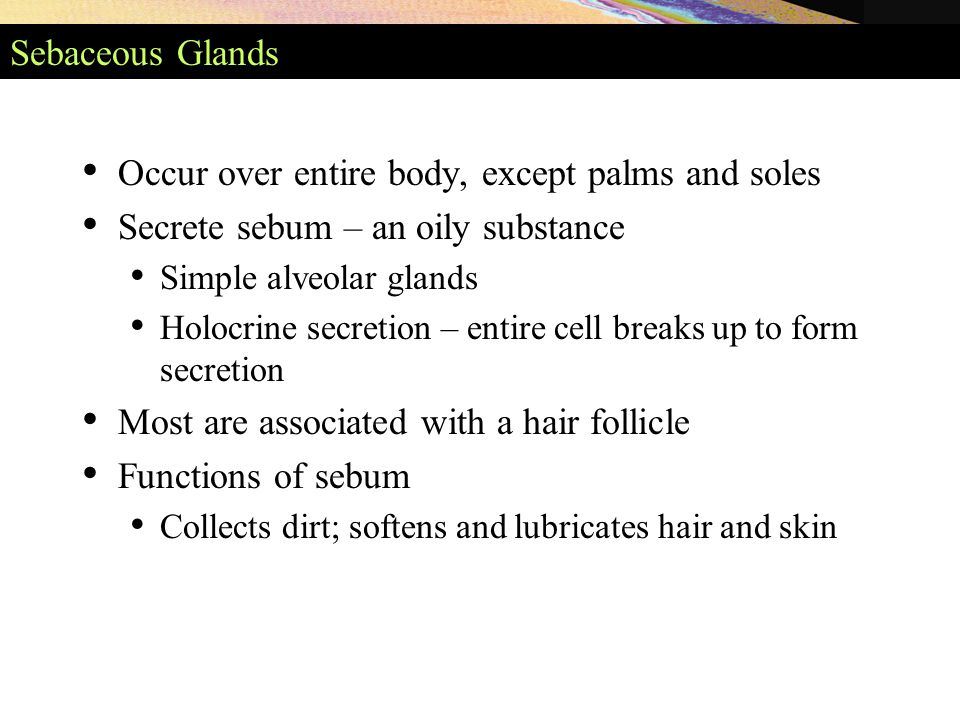 Sebaceous Glands Occur over entire body, except palms and soles Secrete sebum – an oily substance Simple alveolar glands Holocrine secretion – entire cell breaks up to form secretion Most are associated with a hair follicle Functions of sebum Collects dirt; softens and lubricates hair and skin