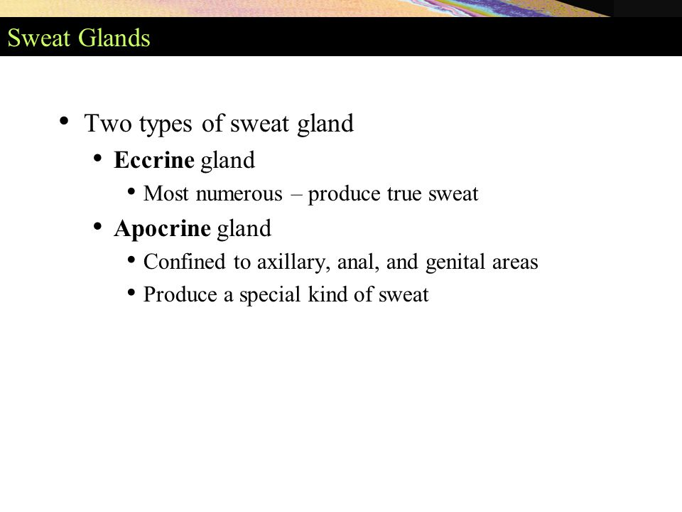 Sweat Glands Two types of sweat gland Eccrine gland Most numerous – produce true sweat Apocrine gland Confined to axillary, anal, and genital areas Produce a special kind of sweat