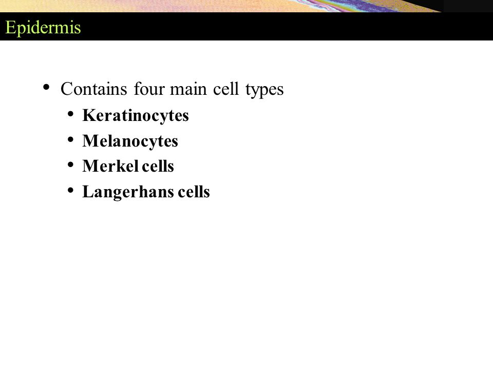 Epidermis Contains four main cell types Keratinocytes Melanocytes Merkel cells Langerhans cells
