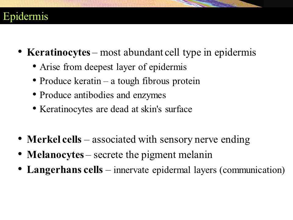 Epidermis Keratinocytes – most abundant cell type in epidermis Arise from deepest layer of epidermis Produce keratin – a tough fibrous protein Produce antibodies and enzymes Keratinocytes are dead at skin s surface Merkel cells – associated with sensory nerve ending Melanocytes – secrete the pigment melanin Langerhans cells – innervate epidermal layers (communication)