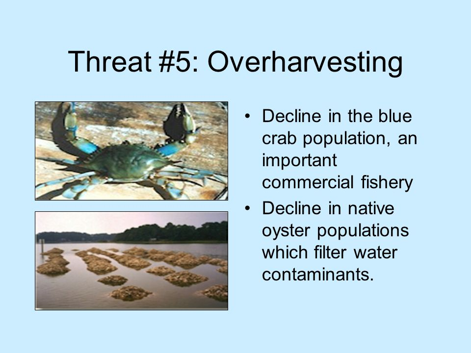 Threat #5: Overharvesting Decline in the blue crab population, an important commercial fishery Decline in native oyster populations which filter water contaminants.