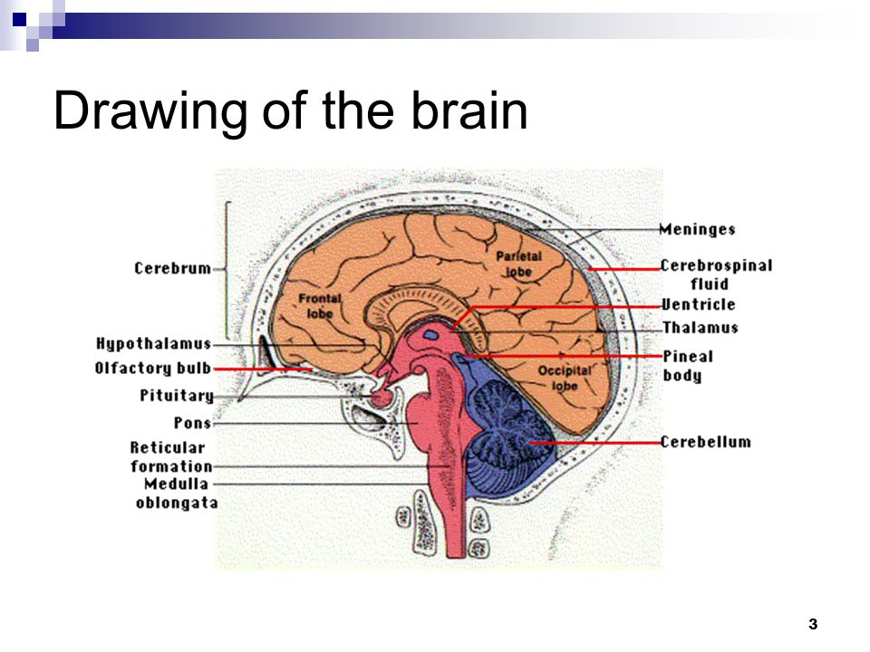 3 Drawing of the brain