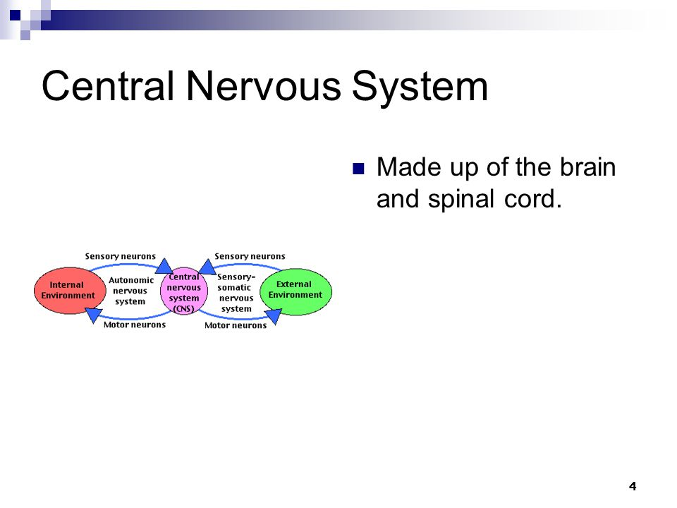 4 Central Nervous System Made up of the brain and spinal cord.