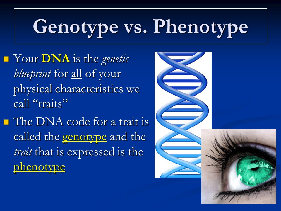 Lecture i intro to genetics dna replication with a review in dna 6 genotype vs phenotype your dna is the genetic blueprint malvernweather Images