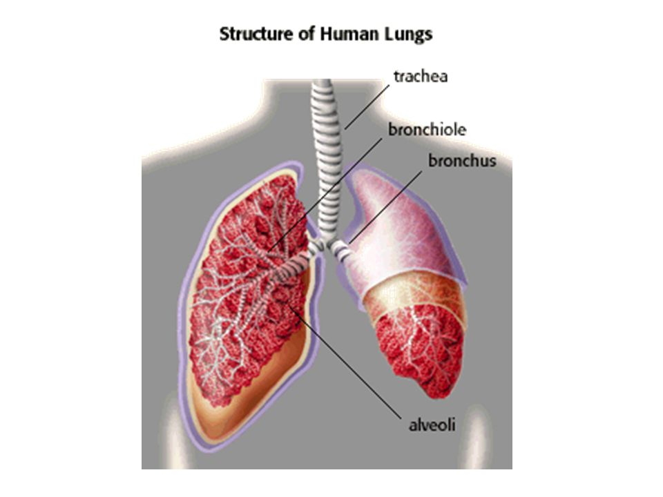 RESPIRATORY SYSTEM REVIEW. Respiratory System Anatomy 2 lungs + ...