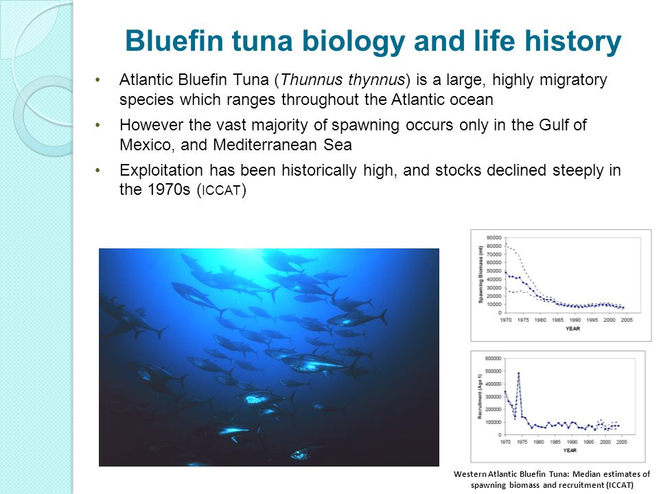 2 Western Atlantic Bluefin