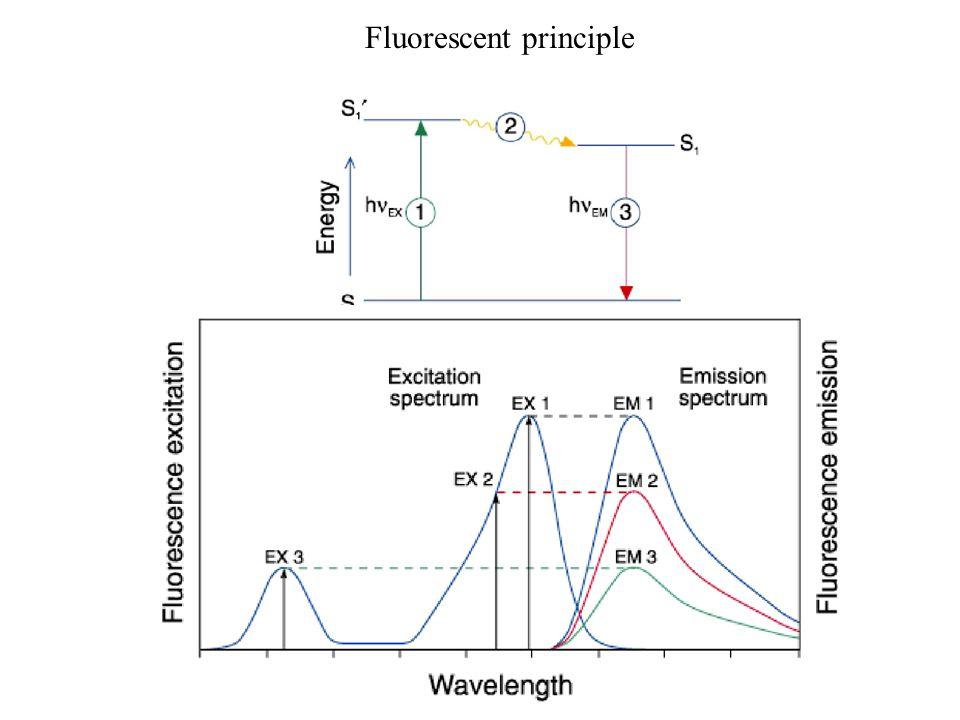 Fluorescent Principle Fluorescent Microscope Dapi Ppt Download