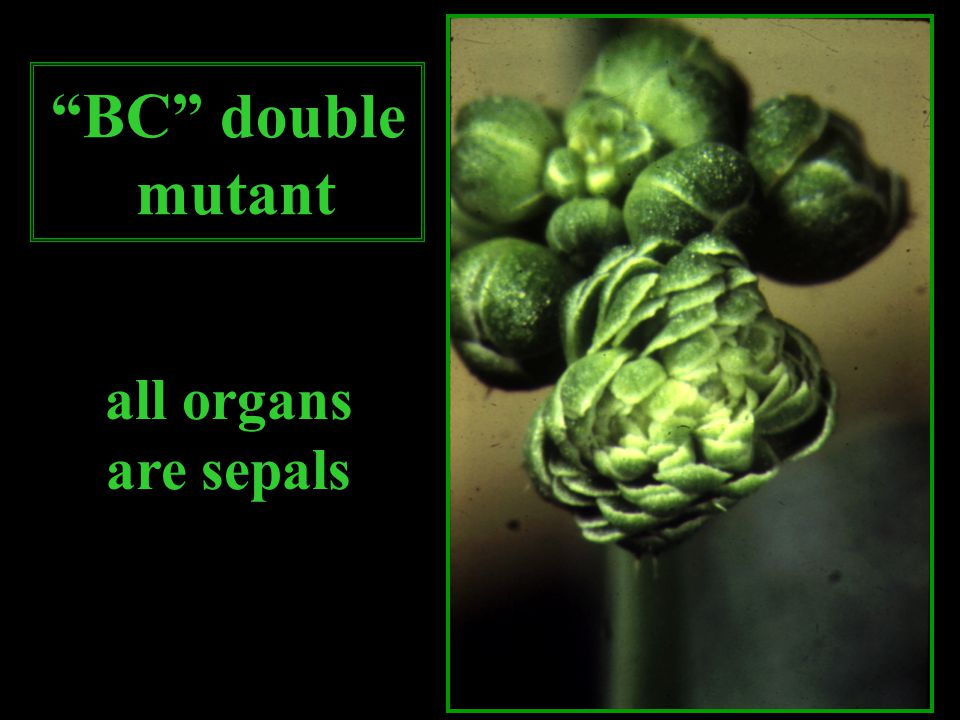 BC double mutant all organs are sepals