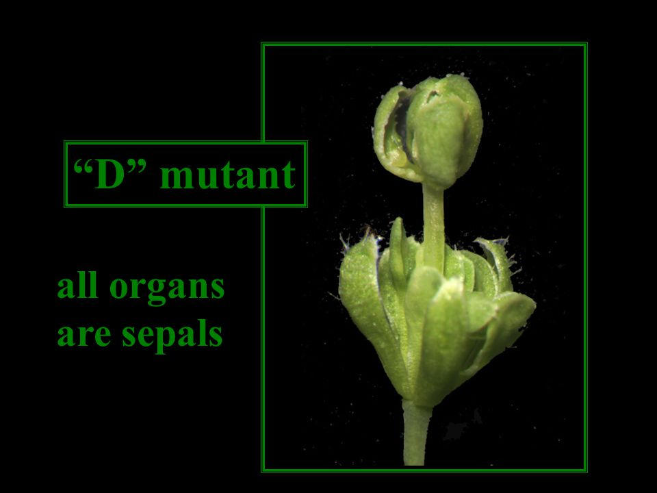 D mutant all organs are sepals