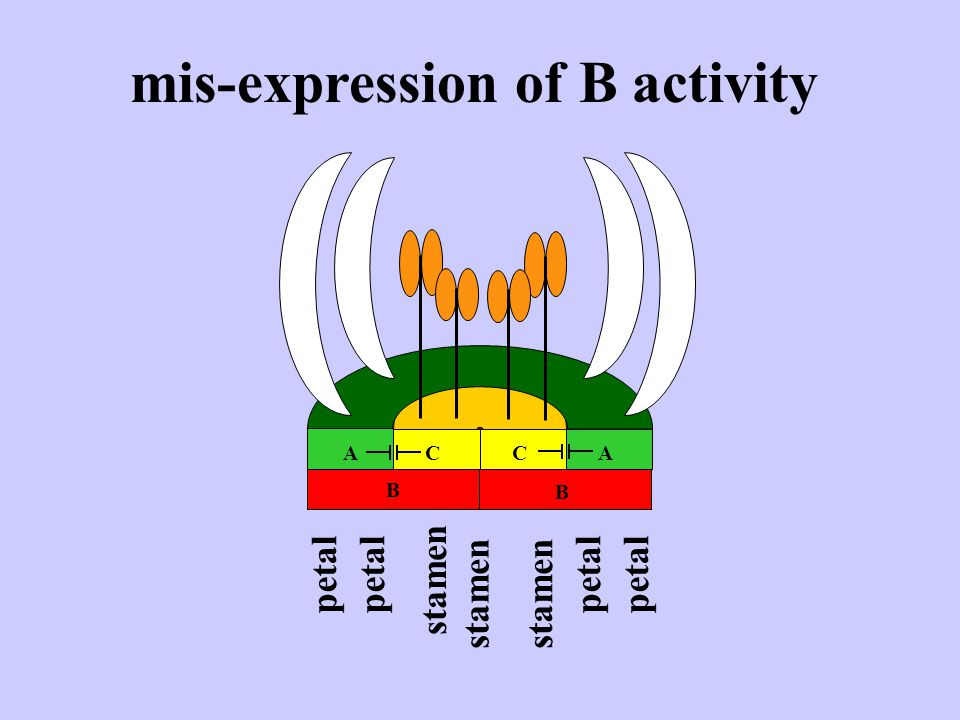 mis-expression of B activity petal stamen ACCA B B