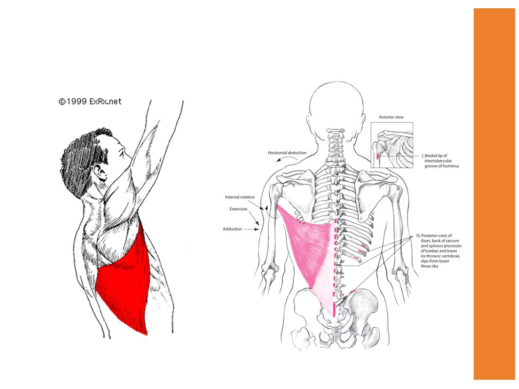 Shoulder Muscles Chapter ppt video online download