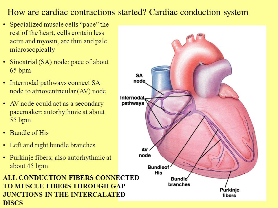 heart and cardiac muscle Cardiac muscle cells control contractions of the heart by generating electrical impulses  another word for cardiac muscle cell is heart muscle cell.