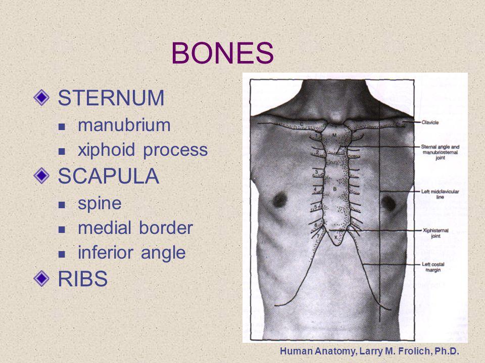 Human Anatomy Larry M Frolich Phd Thorax Surface Anatomy