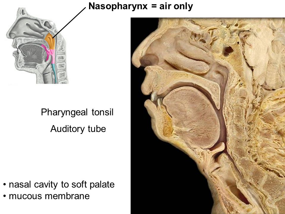 Pharyngeal tonsil Auditory tube Nasopharynx = air only nasal cavity to soft palate mucous membrane