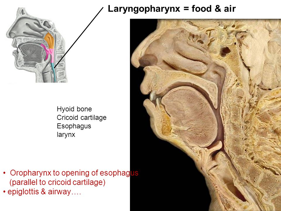 Laryngopharynx = food & air Hyoid bone Cricoid cartilage Esophagus larynx Oropharynx to opening of esophagus (parallel to cricoid cartilage) epiglottis & airway….