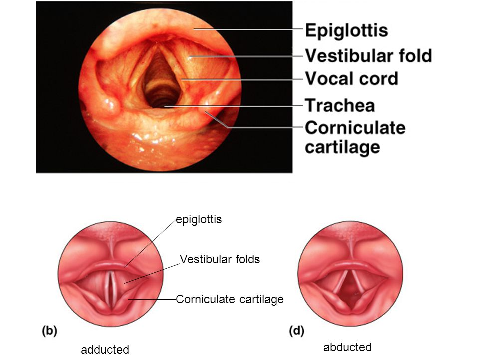 epiglottis Vestibular folds Corniculate cartilage adducted abducted