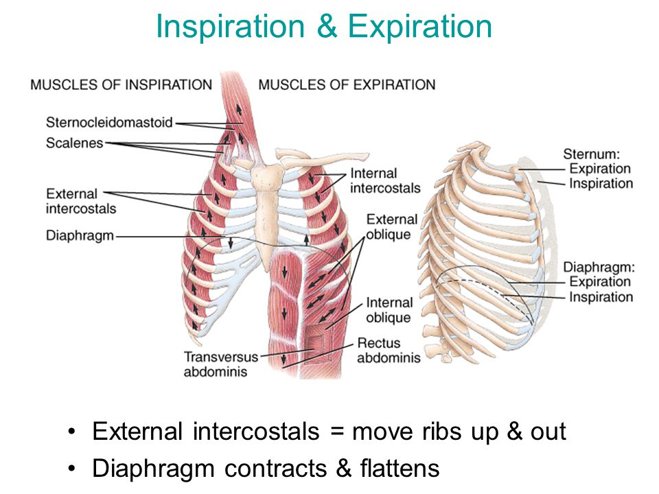 External intercostals = move ribs up & out Diaphragm contracts & flattens Inspiration & Expiration