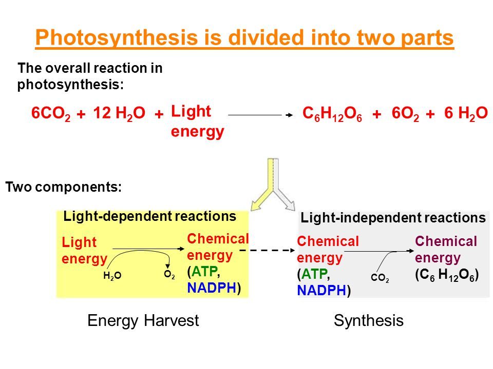 Photosynthesis 12 h 2 o the overall reaction in photosynthesis 2 12 h 2 o the overall reaction in photosynthesis publicscrutiny Gallery