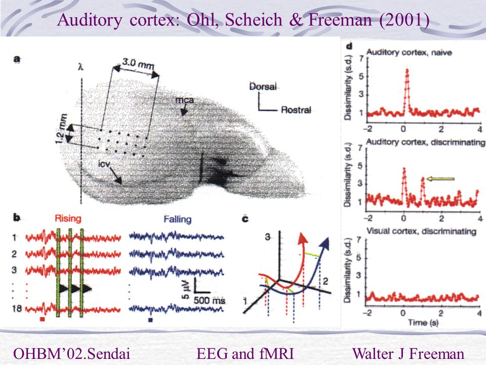 Auditory cortex: Ohl, Scheich & Freeman (2001) OHBM'02.Sendai EEG and fMRI Walter J Freeman
