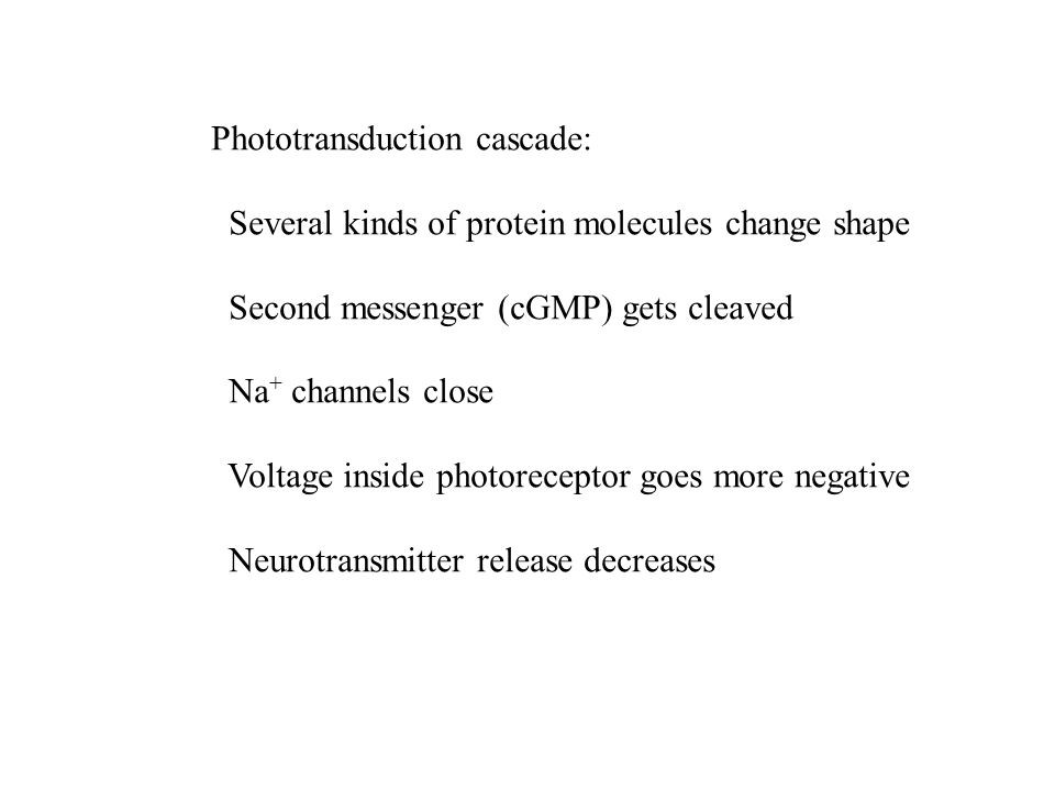Phototransduction cascade: Several kinds of protein molecules change shape Second messenger (cGMP) gets cleaved Na + channels close Voltage inside photoreceptor goes more negative Neurotransmitter release decreases