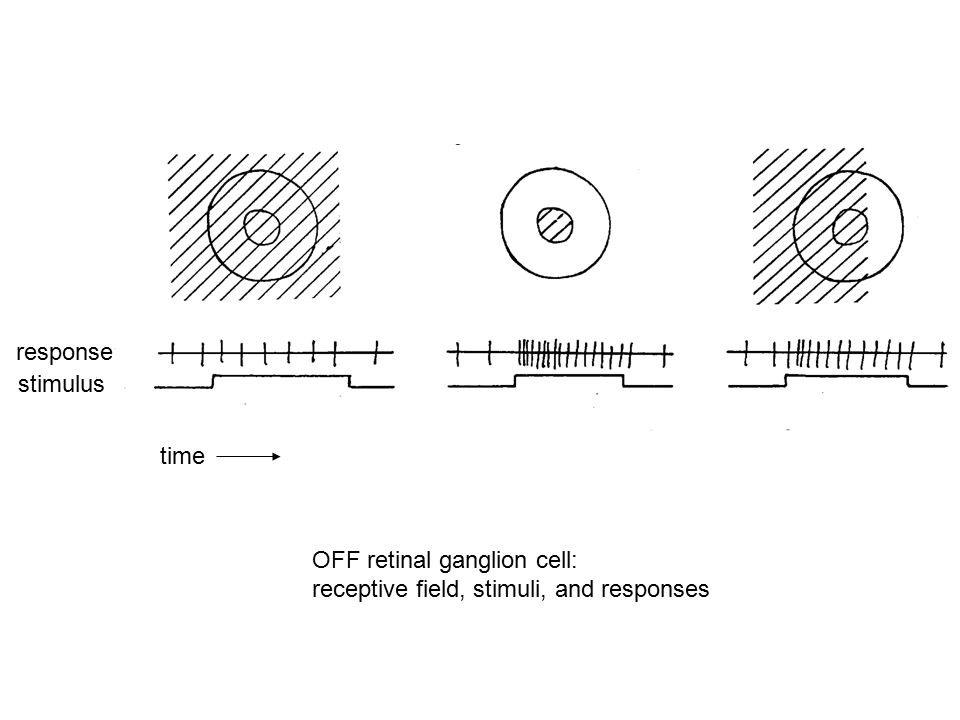 response stimulus time OFF retinal ganglion cell: receptive field, stimuli, and responses